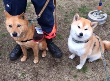 ピースワンコ・ジャパン 災害救助犬の夢之丞クンとハルク君